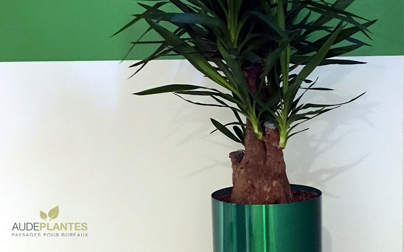 yucca | aude plantes la nature s'invite au bureau