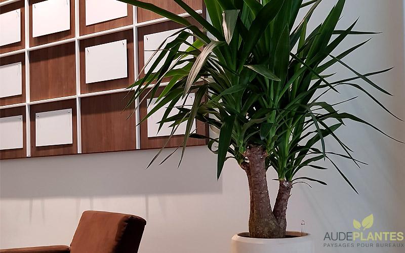 Yucca Aude Plantes La Nature S Invite Au Bureau