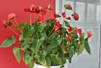 Aude Plantes Anthuriums rouges glossaire