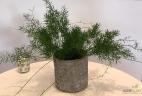 Asparagus glossaire entretien aude plantes