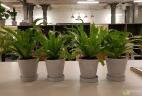 Aude plantes asplenium entretien office fleurs
