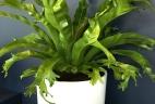 Aude plantes asplenium