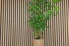 Aude plantes Caryota mitis entretien location