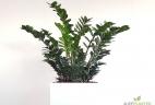 Aude plantes glossaire zamioculcas intérieur pot paysage pour bureau