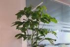 Schefflera glossaire Aude plantes paysages pour bureau