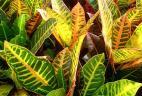 plante dépolluante Croton