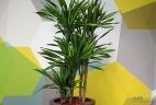 glossaire dracaena aude plantes