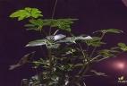 Schefflera aude plantes