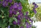 mur végétal d'été
